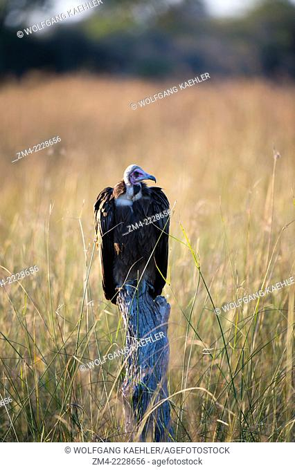 A Hooded Vulture (Necrosyrtes monachus) is waiting to get to the scraps of a lion kill at the Linyanti Reserve near the Savuti Channel in northern part of...