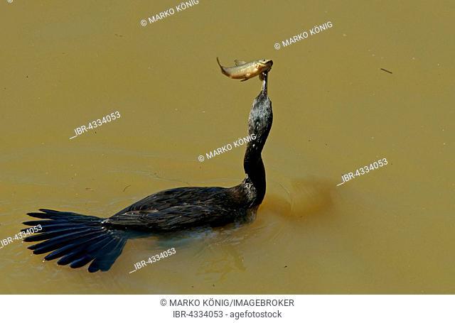 Neotropic Cormorant (Phalacrocorax brasilianus) with a speared fish, Pantanal, Mato Grosso, Brazil
