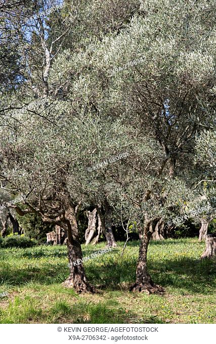 Olive Tree Background in Field