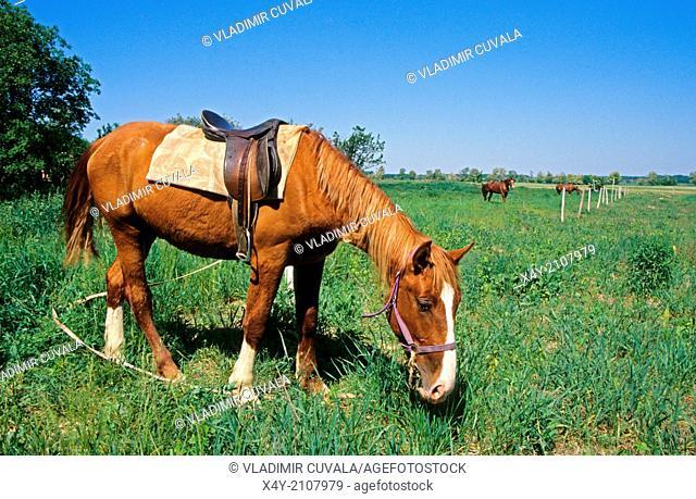 Horse grazing on the meadowland, Podunajska nizina, Slovakia