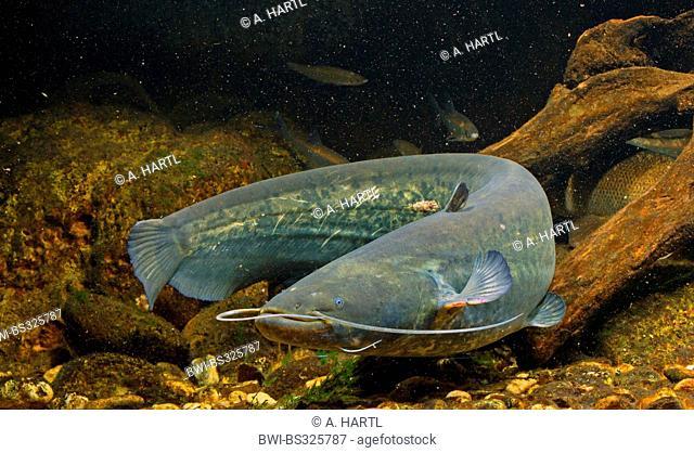 European catfish, wels, sheatfish, wels catfish (Silurus glanis), swimming between deadwood, Germany