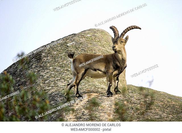 Spain, Madrid, La Pedriza, Spanish wild goat, capra pyrenaica