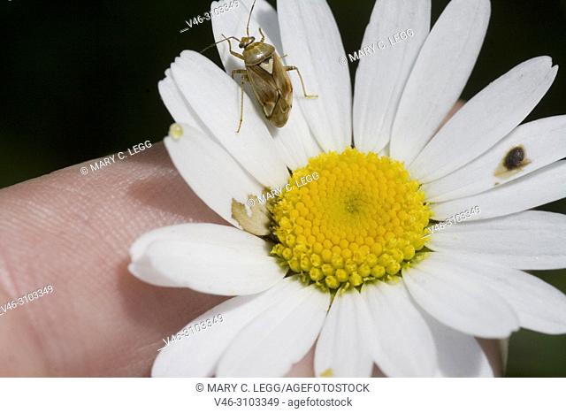PlPlant Bug, Lygus pratensis on daisy. Plant Bug, Lygus pratensis, tiny plant bug found in hedgerows and meadows. Size: 6. 1-7. 3mm