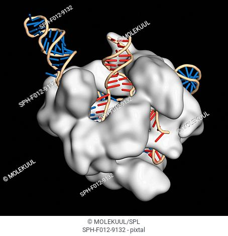 CRISPR-CAS9 gene editing complex from Streptococcus pyogenes. The Cas9 nuclease protein (white) uses a guide RNA (blue) sequence to cut DNA (red) at a...