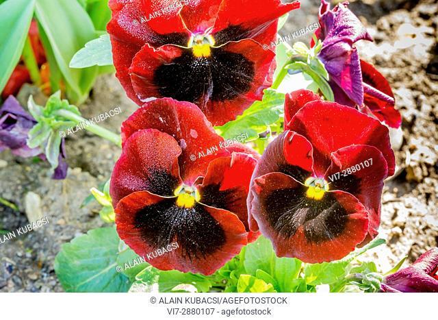 Matrix Red Blotch Pansy / Viola x wittrockiana Matrix à macule red blotch rouge feu