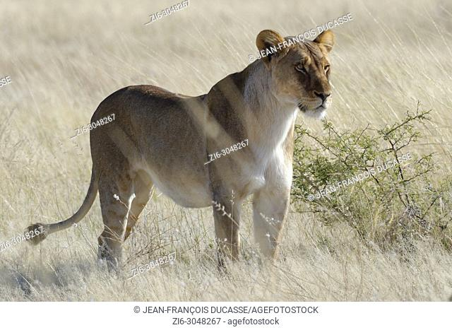 Lioness (Panthera leo) standing in the dry grass, alert, Etosha National Park, Namibia, Africa