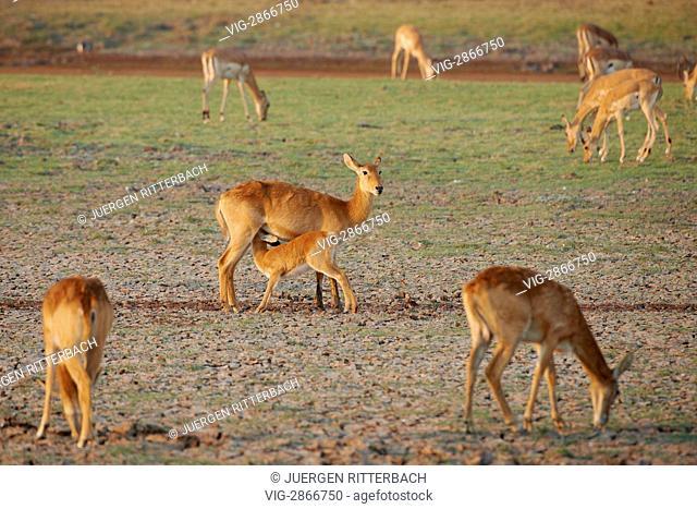 ZAMBIA, SOUTH, 01.10.2010, Puku, Kobus vardonii, South Luangwa National Park, Zambia, Africa - South, Zambia, 01/10/2010