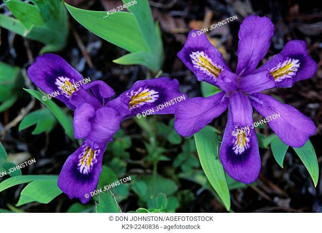 Dwarf Lake Iris (Iris lacustris) , South Bay, Manitoulin Island, Ontario, USA