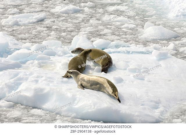 Antarctica, Antarctic Peninsula, Lemaire Channel, Crabeater Seal (Lobodon carcinophagus)