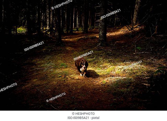 Dog walking though dark forest, Maine, USA