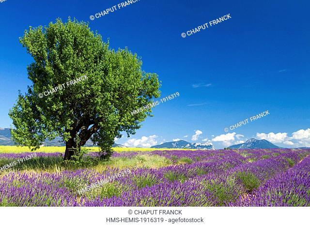 France, Alpes de Haute Provence, Parc Naturel Regional du Verdon (Natural Regional Park of Verdon), Valensole Plateau, almond tree (Prunus dulcis) in a field of...