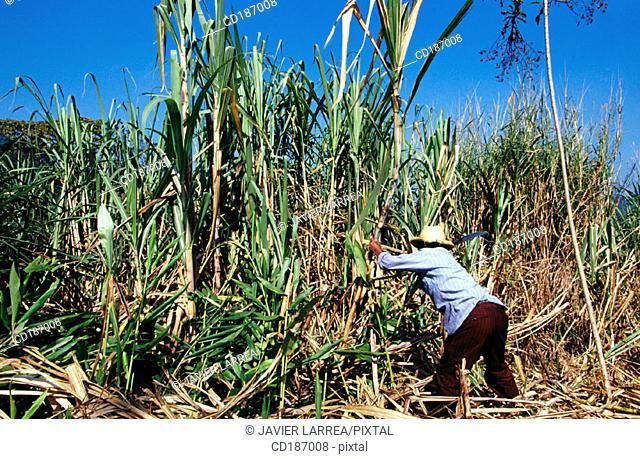 Cutting sugar cane. Veracruz. Mexico