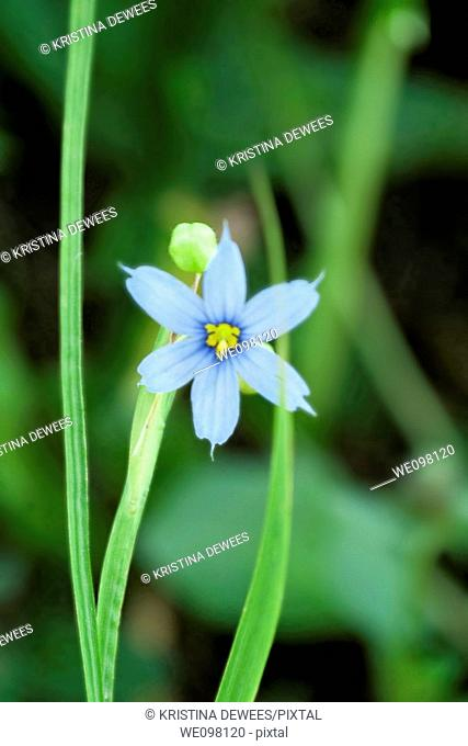 A single Blue Eyed Grass bloom
