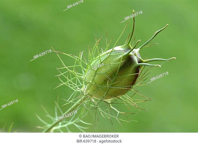 Black Caraway or Fennel Flower or Roman Coriander (Nigella sativa) boll, spice, medicinal plant