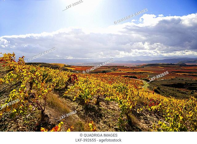 Vineyard at Elciego, Elciego, La Rioja Alavesa, Basque Country, Spain