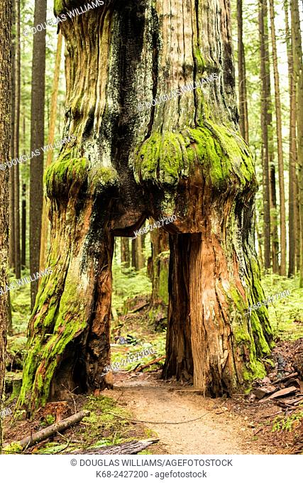 a tree with a door carved in it in the forest in North Vancouver, BC, Canada