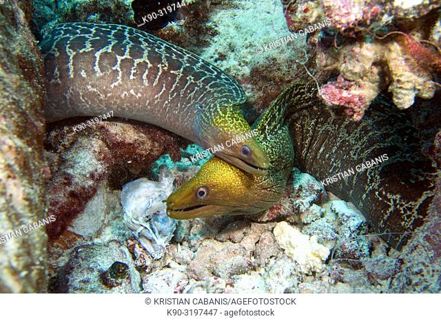 Two Bartail moray eel (Gymnothorax zonipectus) looking out of their hole and moving on top of eachother, Indian Ocean, Maledives, South Asia