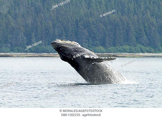 Humpback whale  Breach  Breaching  The whale is leaping into the air , rotating and landing on its back or side to create a chin-slap Megaptera novaeangliae...