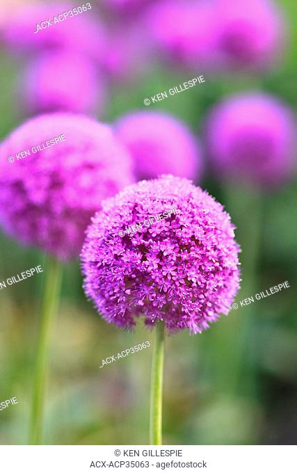 Purple Allium flowers. English Gardens, Assiniboine Park, Winnipeg, Manitoba, Canada