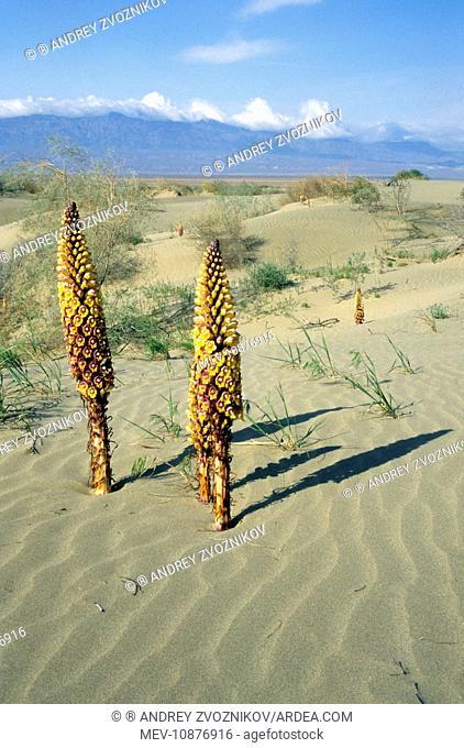 Flowering parasitic plants Orobanchaceae sp. (Orobanchaceae sp.). Karakum desert sand dunes - Saxaul trees (Haloxylon sp