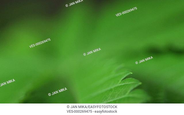 Macro of green Marijuana leaf