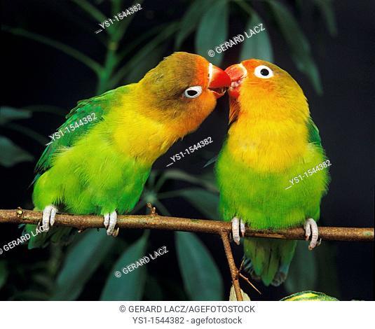Fischer's Lovebird, agapornis fischeri, Adults standing on Branch
