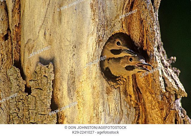Northern flicker (Colaptes auratus) at nest cavity, Greater Sudbury, Ontario, Canada