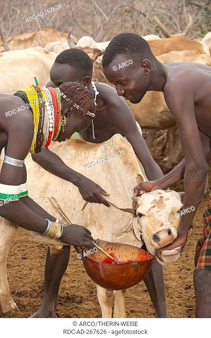 Herders taking blood from cow, Nyangatom tribe, Omo river valley, Ehtiopia / Bume, Buma, Bumi