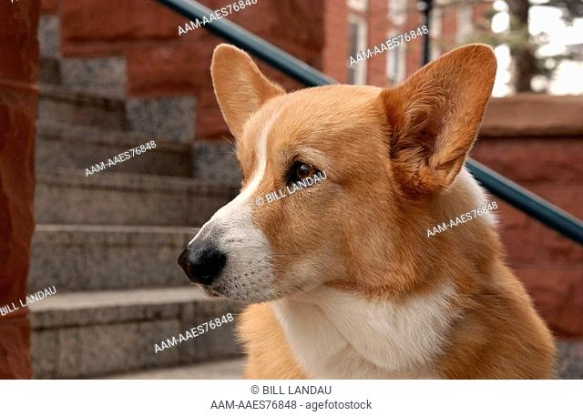 Profile portrait of a Welsh Corgi