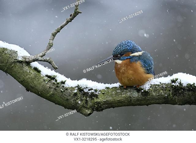Eurasian Kingfisher / Eisvogel ( Alcedo atthis ), male in winter, perched on a natural branch, hunting, falling snow, wildlife, Europe