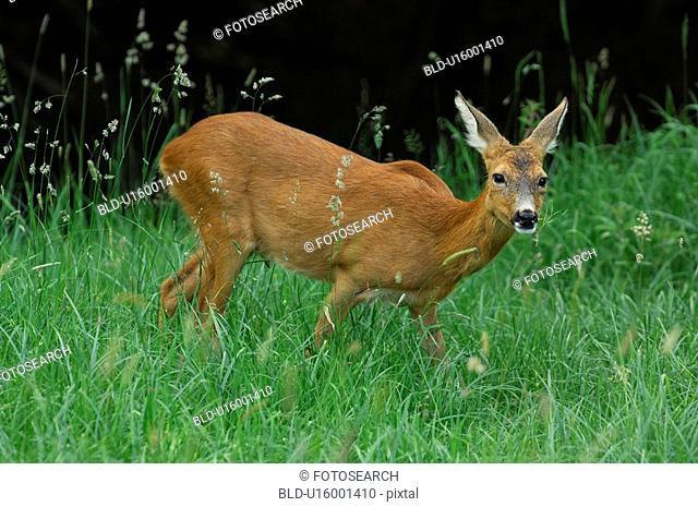 lichtstimmung, aargau, canton, capreolus, deer, forester, freiamt
