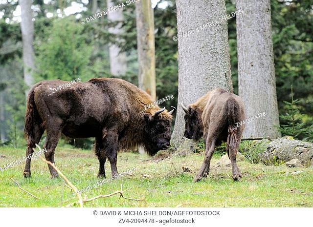 Two European bisons (Bison bonasus) in the Bavarian Forest National Park, Germany