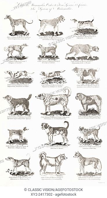 Different breeds of dogs. From an 18th century print