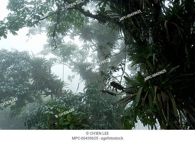 Trees in cloud forest, Henri Pittier National Park, Venezuela