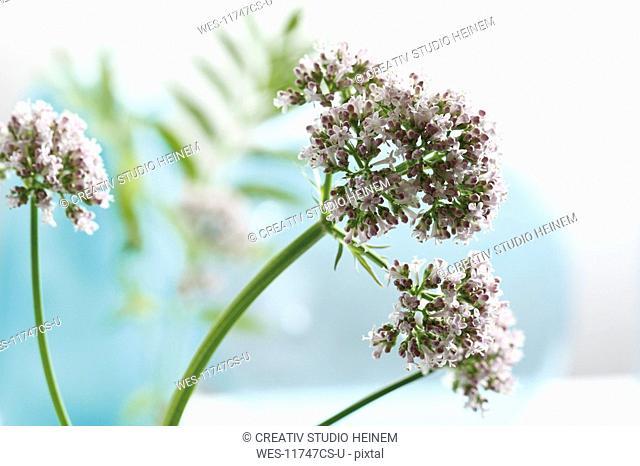 Valerian flowers Valeriana