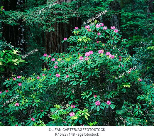 Pacific Rhododendron blooms. Del Norte Coast Redwoods State Park. Oregon. USA