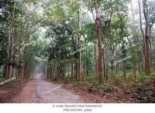 India, Orissa, Koraput district, Diospyros melanoxylon tree (used for the manufacture of the Beedi cigarets)