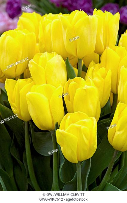 TULIPA 'STRONG GOLD'
