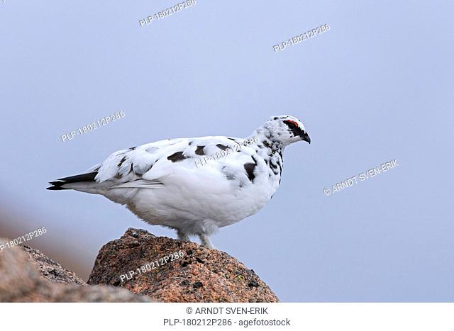 Rock ptarmigan (Lagopus muta / Lagopus mutus), male foraging among rocks in winter plumage, Scotland, UK