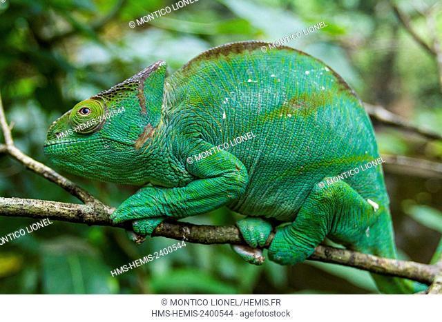 Madagascar, East, Parson's chameleon (Calumma parsonii)