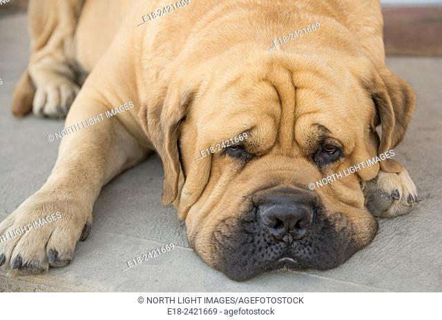 Canada, BC, Oliver. A sad, lazy hound dog, lying on the floor of an Okanagan winery