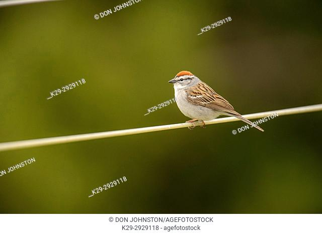 Chipping sparrow (Spizella passerina), Greater Sudbury, Ontario, Canada