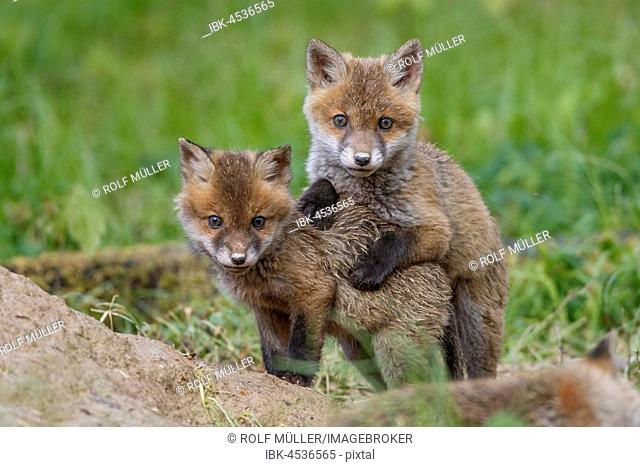 Red foxes (vulpes vulpes), young animals at burrow, playing, Swabian Alb, Baden-Württemberg, Germany