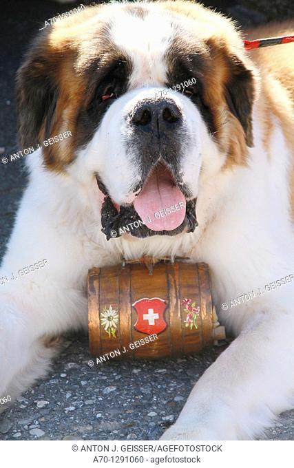 Saint bernard dog with barrel of rum, switzerland