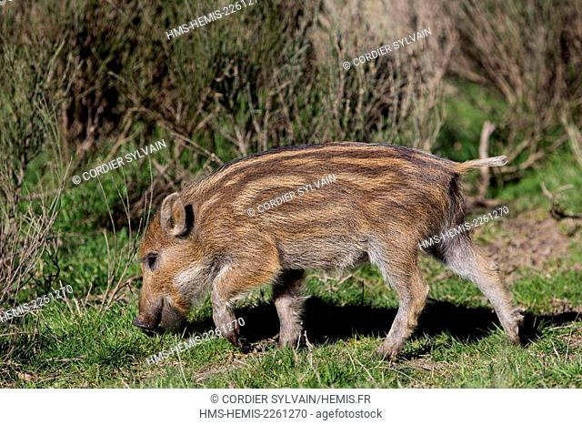 France, Haute Saone, Private park, Wild Boar (Sus scrofa), piglet