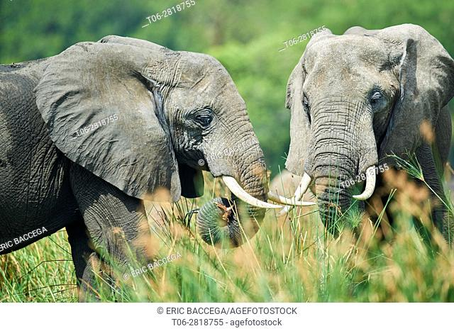 African elephant (Loxodonta africana) feeding on vegetation. Murchisson Falls National Park, Uganda