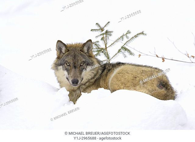 Gray Wolf, Canis lupus, Bavarian Forest National Park, Germany, Europe