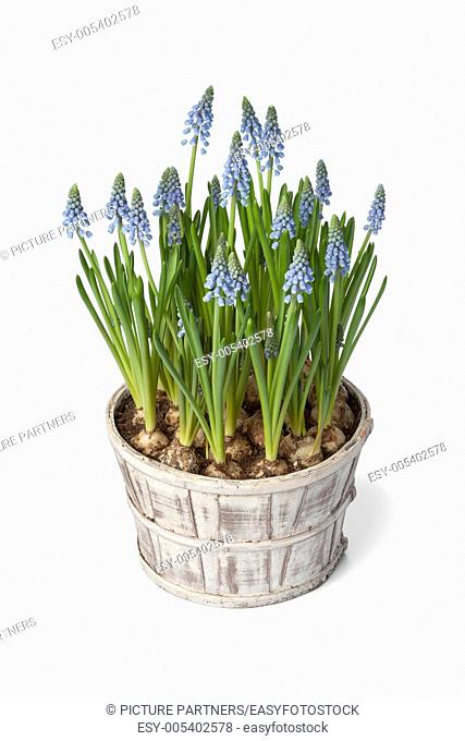 Grape Hyacinth in pot on white background