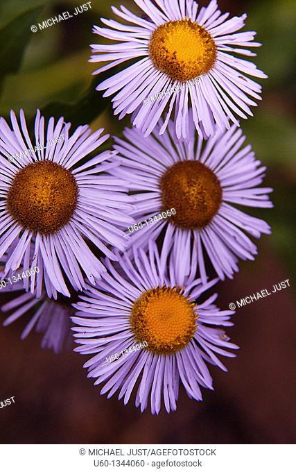 A closeup of subalpine daisy at Zion National Park