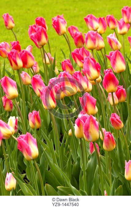 Tulipa 'Tom Pouce'